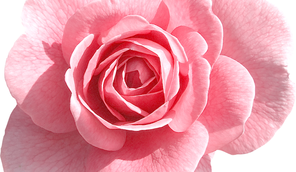 Медитация Роза – Ясен Николов